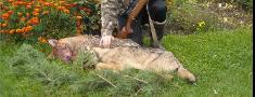 2012./2013.gada medību sezonā medīs 200 vilku