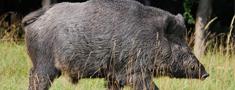 Āfrikas cūku mēri konstatē mežacūkai Auces novadā