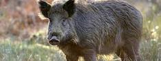Āfrikas cūku mēri pagājušajā nedēļā pirmo reizi konstatē mežacūkai Saldus novada Zirņu pagastā