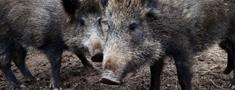 Āfrikas cūku mēris atklāts 15 mežacūkām Latvijā