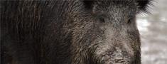 Āfrikas cūku mēris atklāts 59 mežacūkām