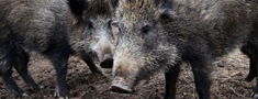 Āfrikas cūku mēris konstatēts 14 mežacūkām Latvijā