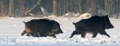 Āfrikas cūku mēris pagājušajā nedēļā konstatēts 16 mežacūkām Latvijā