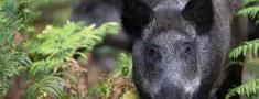 Āfrikas cūku mēris pagājušajā nedēļā Latvijā atklāts 20 mežacūkām