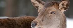 Atvieglojumi staltbriežu medību organizēšanā