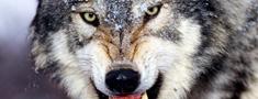 Beigušās vilku medības