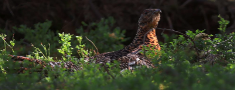 FACE apgalvo – pavasara medņu medības Latvijā var turpināties