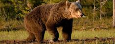 Gulbenes novada Lejasciemā lācis postījis bišu dravas