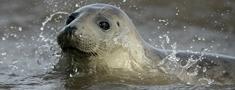 Haralds Barviks: roņi jāiekļauj medījamo dzīvnieku sarakstā