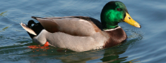 Jauna iniciatīva Putnu direktīvas kontekstā