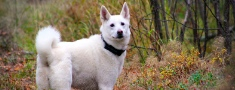 Kā Zviedrijā apmāca medību suņus