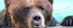 Ko darīt ar slimu vai ievainotu zvēru ārpus medību sezonas?
