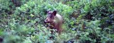 Latgales pusē Āfrikas cūku mēri atklāj vienai mežacūkai