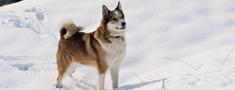 Latvijā medību suņiem darba spējas jāpierāda ar mežacūku