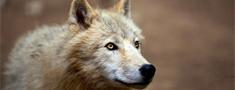 Latvijā sākas vilku medību sezona