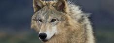 Latvijā turpinās vilku medības