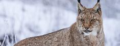 Lūšu limits – 80 dzīvnieku, medības – no 1. janvāra