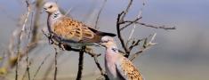 Maltā saglabās pavasara medības