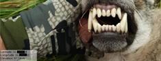 Medniekiem obligāti jāsniedz informācija par nomedīto vilku