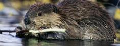 Mednieku slinkums var apdraudēt bebru medības
