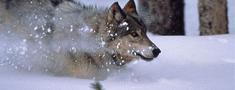 Neaizmirstiet informēt par pamanītajām vilku un lūšu pēdām!
