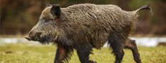 No ĀCM otrās riska zonas turpmāk būs aizliegts izvest svaigu mežacūku gaļu