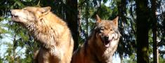 Nomedītais vilku skaits Latvijā šajā sezonā