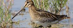 Noraida mērkaziņas iekļaušanu medījamo putnu sarakstā