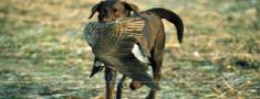 Nosacījumi medību suņu izmantošanai