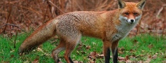 Noslēdzas meža dzīvnieku vakcinācija pret trakumsērgu