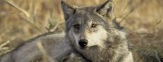 Noteikts limits vilku medīšanai