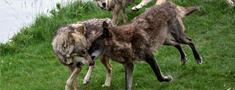 Noteikts šosezon pieļaujamais vilku nomedīšanas apjoms