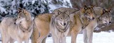 Palielina pieļaujamo vilku nomedīšanas limitu