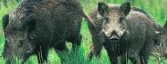 Pārtraucot piebarot meža dzīvniekus, palielinās postījumu risks