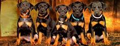 Piecas vācu medību terjera meitenes meklē saimniekus