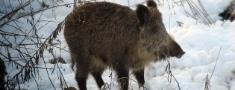 PVD aicina ziņot par kritušām mežacūkām
