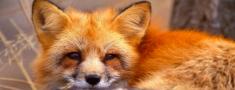 PVD uzsāk meža dzīvnieku vakcināciju pret trakumsērgu
