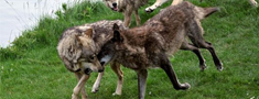 Sākas vilku medību sezona, atļauts nomedīt 280 plēsējus