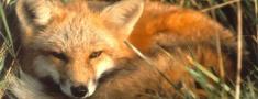 Sākusies meža dzīvnieku vakcinācija pret trakumsērgu
