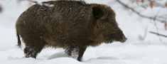 Samaksu varēs saņemt arī par janvārī un februārī nomedītajām mežacūkām