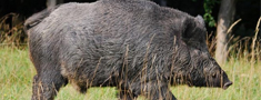 Šonedēļ atrastas 15 no ĀCM nobeigušās mežacūkas