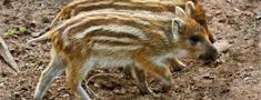 Šonedēļ atrastas tikai septiņas ar ĀCM slimas mežacūkas