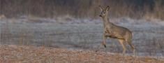 Stirnu medību termiņu pagarina līdz 6. decembrim