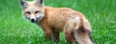 Uzsāk savvaļas dzīvnieku vakcināciju pret trakumsērgu