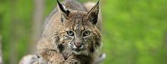 Valsts kontrole vēlas aizliegt vilku un lūšu medības