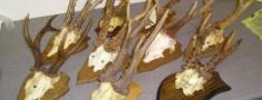 Viesītē līdz 15.maijam medību trofeju izstāde