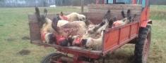 Vilku dzīres aitkopības saimiecībā