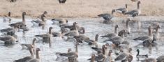 Zosu migrācijas rezultātā ir apdraudēti ziemāju sējumi