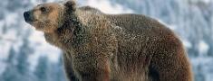 Zviedrijā zēnam uzbrūk lācis